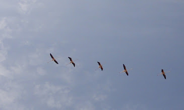 Photo: Flamingos flying in formation