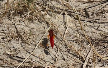 Photo: Crocothemis erythraea
