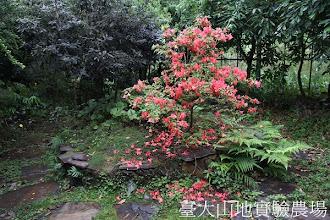 Photo: 拍攝地點: 梅峰-蘭園 拍攝植物: 金毛杜鵑 拍攝日期:2012_05_01_mfbear
