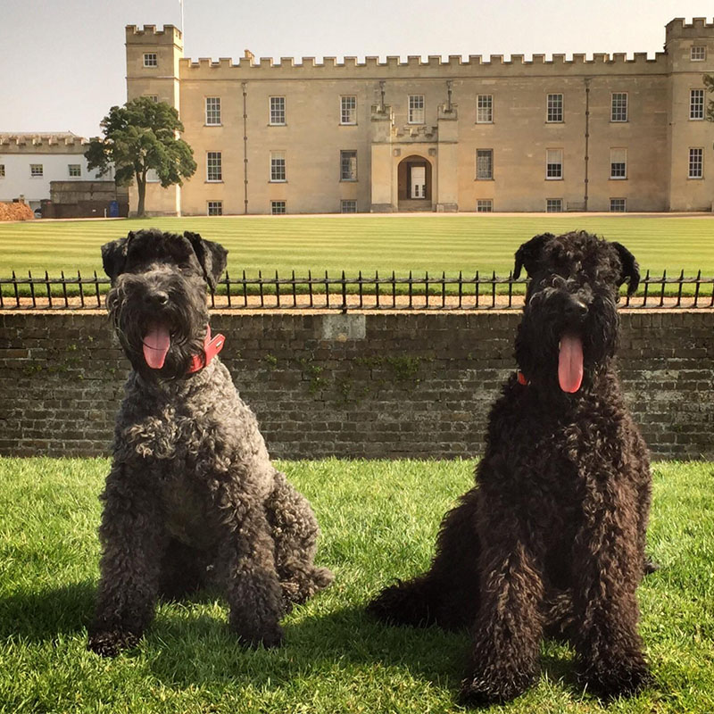 BorrowMyDoggy Kerry Blue Terrier