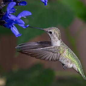 Hummingbird by Jim Malone - Animals Birds ( hummingbird, anna's, annahummingbird,  )