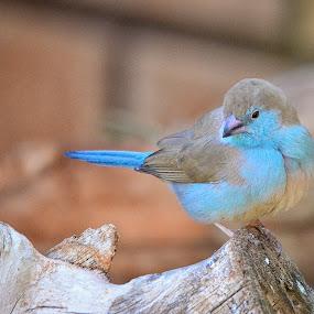 Waxbill by Hannes van Rooyen - Animals Birds (  )