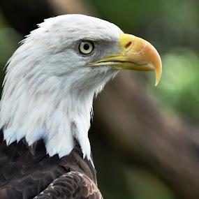 Bald Eagle by Emily Vickers - Novices Only Wildlife ( eagle, freedom, america, symbol, beak, bald eagle, symbolic, wildlife, feathers, birds )