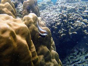 Photo: Heniochus chrysostomus (Three-band Pennant Bannerfish), Miniloc Island Resort reef, Palawan, Philippines.