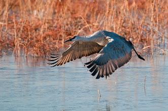 Photo: Sandhill crane in flight