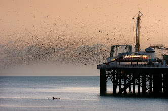 Photo: A canoeist watches the view from the sea as thousands of starlings take to the sky above Brighton Pier. The RSPB are setting up a viewing station throughout December for the first time on the pier as part of the 'Aren't Birds Brilliant' scheme. Contact RSPB 01273 775333 / Hester Phillips (media officer) 07889 220236.Picture taken 25 November 2008Pretty View