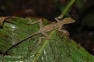 Photo: Norops limifrons 2, Esquinas Rainforest (8:42/-83:12), 23-05-2006, Author: Erwin Holzer, det. Gerardo Chaves