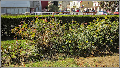 Photo: Mahonia (Mahonia aquifolium) - din Piata 1 Decembrie 1918, spatiu verde din fata catedralei - 2017.04.15