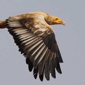 egyptian vulture by Dr. Mahendra singh Rathore - Animals Birds