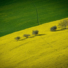 green& yellow by Frans Scherpenisse - Landscapes Prairies, Meadows & Fields ( hills, rapeseed, olivetrees, green, trees, yellow, italy, fields )