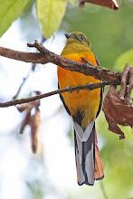 Photo: Orange-breasted Trogon