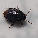 Burrower Bug.