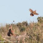 Red-legged Partridge; Perdiz Roja