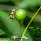 Bactrocera dorsalis 桔小寡鬃實蠅