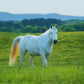 White Horse by Karen Carter Goforth - Animals Horses ( horse, white,  )