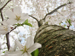 Photo: Looking up a tree trunk into the cherry blossoms at Eastwood Park in Dayton, Ohio.