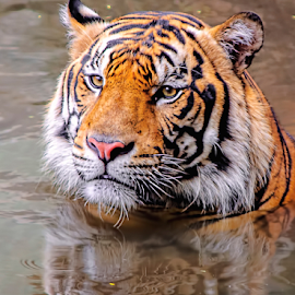 Slow and Down by Robert Cinega - Animals Lions, Tigers & Big Cats ( carnivora, harimau sumatra, tiger, robert cinega, indonesia, tigers, jakarta )