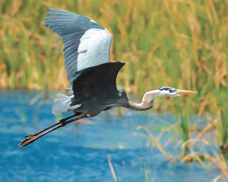 Guests aboard American Cruise Lines can look forward to seeing wildlife such as heron up close during tours.