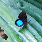 Mariposa ocelada / Blue-winged eurybia