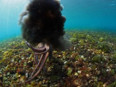 الحبار Cephalopod