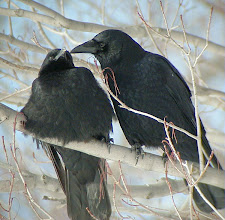 Photo: American Crows allopreening. Tompkins Co., NY, 1 January 2001. The preening bird is an adult; the other is less than one-year old. Note the somewhat reluctant attitude of the young bird as it leans away from the adult.
