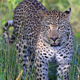 Nzandzeni by Anthony Goldman - Animals Lions, Tigers & Big Cats ( leopard, nzandzeni, predator, south africa., young male, londolozi, big cat, wild, wildlife,  )