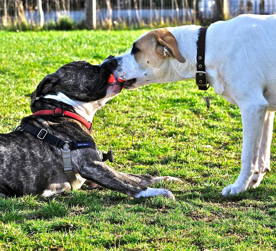 Felon and Luna sharing a ball.   Photo by Janet Young-Abeyta by Janet Young- Abeyta - Animals - Dogs Playing ( , Urban, City, Lifestyle )