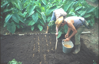 Photo: Preparing a seedbed with fermented cow manure for pregerminated seeds. (Photo taken by Rena Perez)