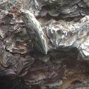 Western Sculptured Pine Borer