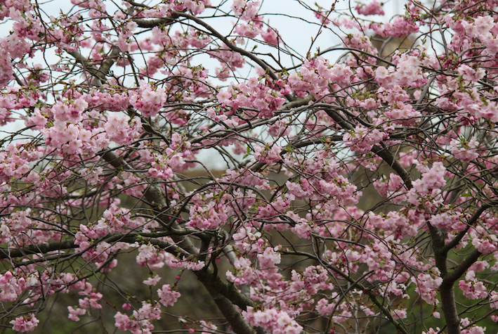 photo cherry-blossom-big_zpsli5aptpm.png