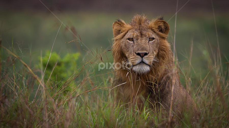 stop looking at me by Wim Moons - Animals Lions, Tigers & Big Cats ( oeganda, western region, katoke, uga )