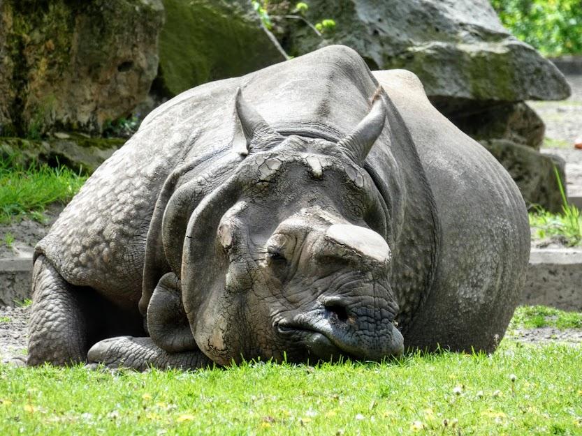 Nosorożec z odciętym rogiem