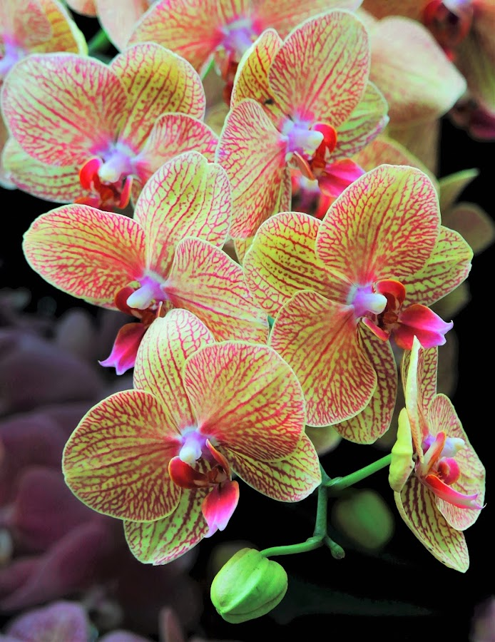 Orchids #3 by Koh Chip Whye - Flowers Flower Gardens (  )