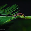 Pseudomyrmex Ant of the Swollen Thorn Acacia