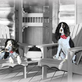 English Springer Spaniels by Guy Longtin - Animals - Dogs Portraits ( springer, spaniel, ess, dog, #GARYFONGPETS, #SHOWUSYOURPETS, black and white, animal )