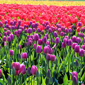 Tulip Dreamin' by Becky Luschei - Flowers Flower Gardens ( dazzle, red, multiple rows, purple, colors, tulip, bloom, yellow, rainbow, eyes, fields )