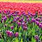 Tulip Dreamin'.JPG