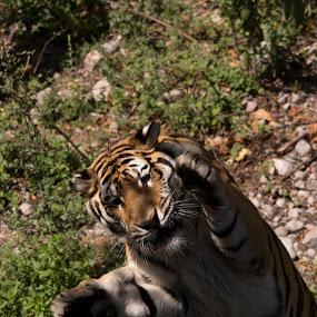 by Francois Larocque - Animals Lions, Tigers & Big Cats ( cat, action, leap, tiger, jump )