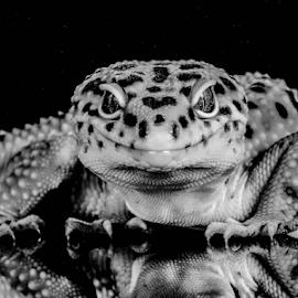 Gecko by Garry Chisholm - Black & White Animals ( macro, leopard gecko, nature, reptile, lizard, garry chisholm )