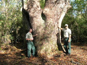 Photo: District Forester Billy Whitworth (left) and Resource Specialist Ronnie Jones admire a really big American Sycamore (Platanus occidentalis) near Milam.