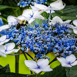 A Black Bee on Lace Hydrangea by Ed Stines - Flowers Flower Gardens ( lace hydrangea, nature, lace, yellow flower, flower garden, hydrangea, petals, flower, blue, white, daylily, plant, lily, garden )