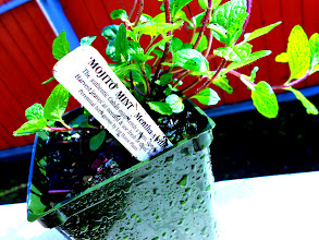 Photo: 'Mojito' mint, the perfect spearmint for mojitos.  An authentic Cuban variety.