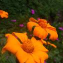 Asteraceae Shrub