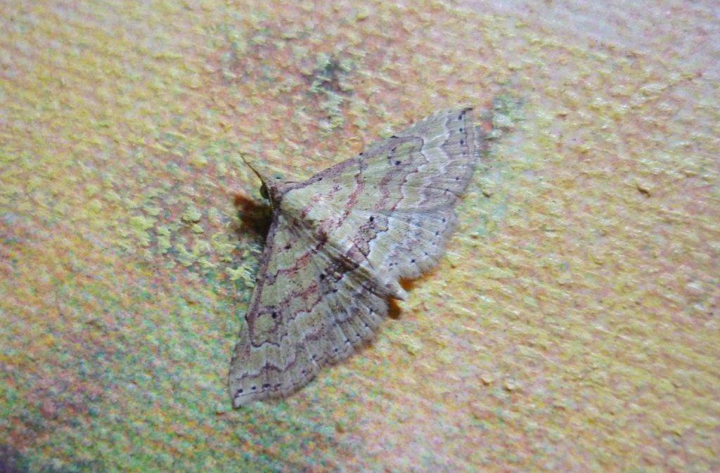 The Mallow Mursa Moth