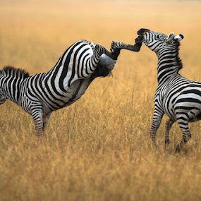 by Justin Bowen - Animals Other Mammals ( maasai mara, zebras )