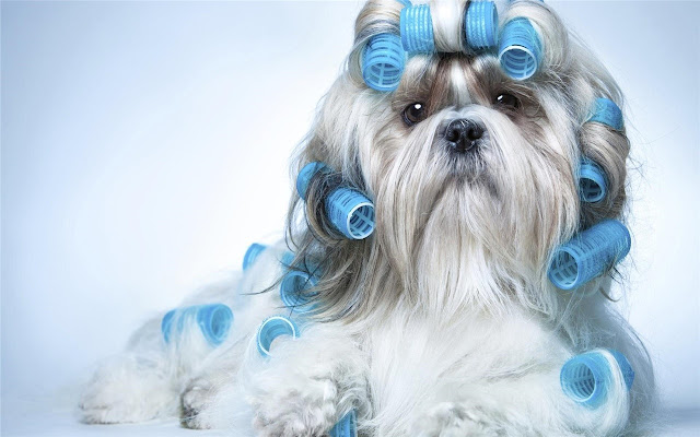 Lhasa Apso Themes & New Tab