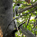 Indian paradise flycatcher- Male