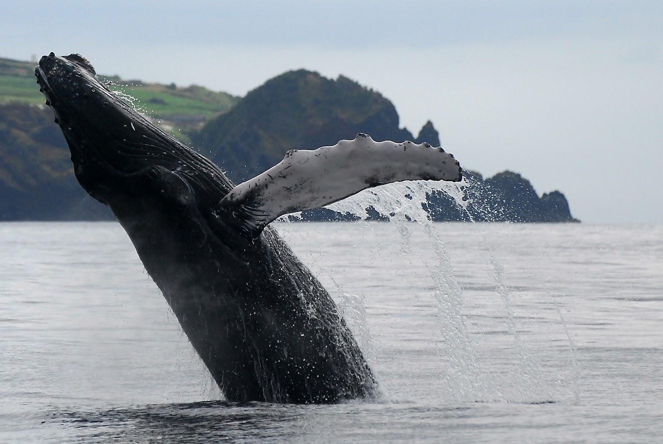 ballenas en las azores