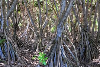 Photo: Walking trees.