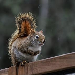 Rainy Day Squirrel by Jeff Galbraith - Animals Other Mammals ( red, furry, cute, rodent, rain, squirrel )